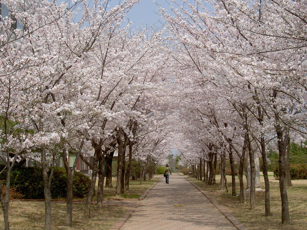 Still Blooming in Spirit: D.C. Cherry Blossom Festival