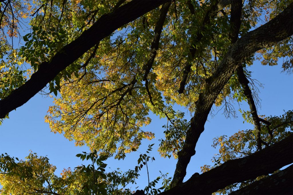 Proactive Prevention Can Save the Green Ash