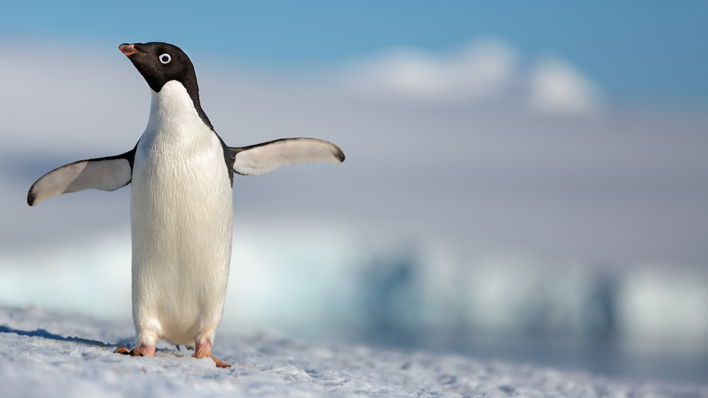 Disneynature S Penguins Melts Hearts And Expectations The Georgetown Voice